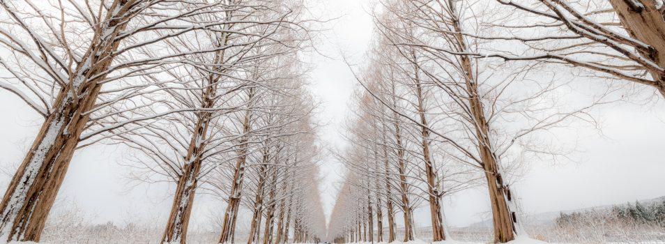 冬もメタセコイア